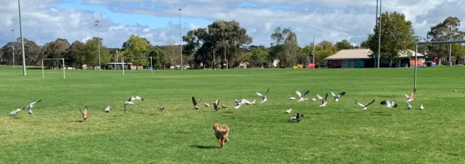 Dog chasing flock of birds in a green field.
